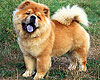 chow-chow ETOILE STYLE OF MARY