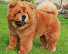 chow-chow HUGS FOR STYLE OF MARY DEI LEONI IMPERIALI