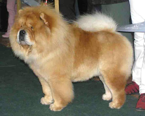 chow chow helmintos kezelés can giardia cause weight loss