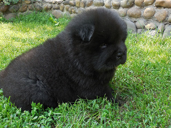 Chow Chow Puppies Out Of Ch Dalen Darky Golden Man And Dgulideil