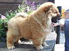 Chow-chow puppy Dgulideil DELEGAT FROM SIBERIA