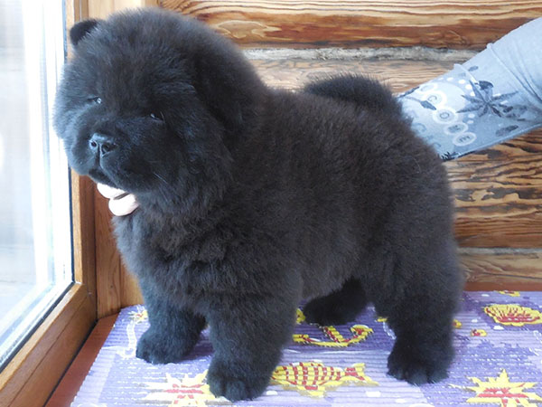 Chow Chow Chow Chow Puppies Of Julideil Kennel