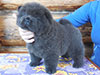 Chow-chow puppy of Dgulideil Kennel Russia