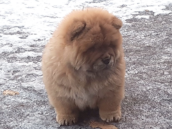 Chow-chow puppies for sale in Irkutsk Russia