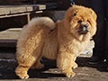 Chow-chow puppy red girl Dgulideil ZOLOTO OSENI